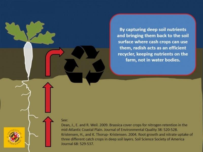 Forage radish nutrient capture
