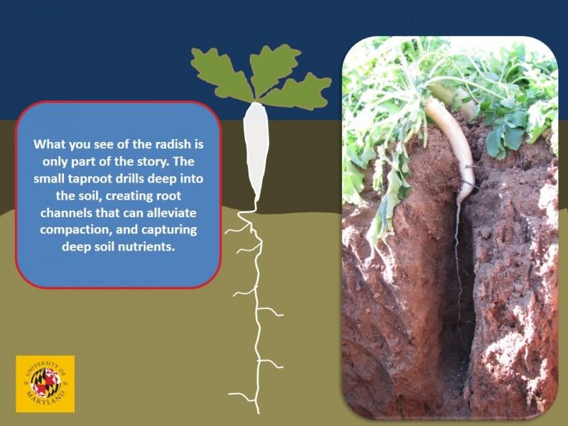 Radish roots go deeper than you might think | No-till