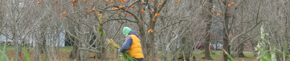 in the field with persimmons