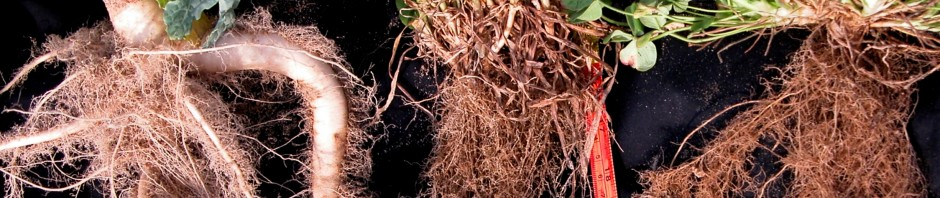 banner 1 rape rye clover roots