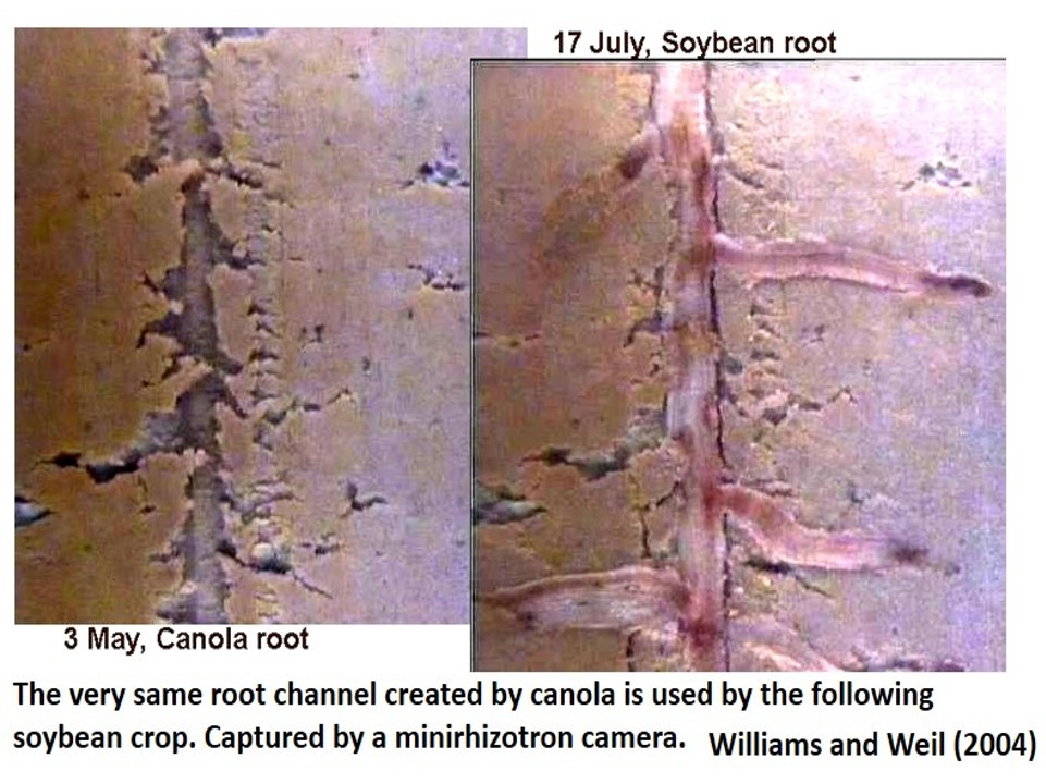A residual canola root channel (left) is used by a soybean root (right) the following season. Williams and Weil 2004.