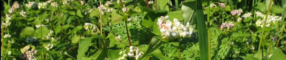 buckwheat phacelia oat