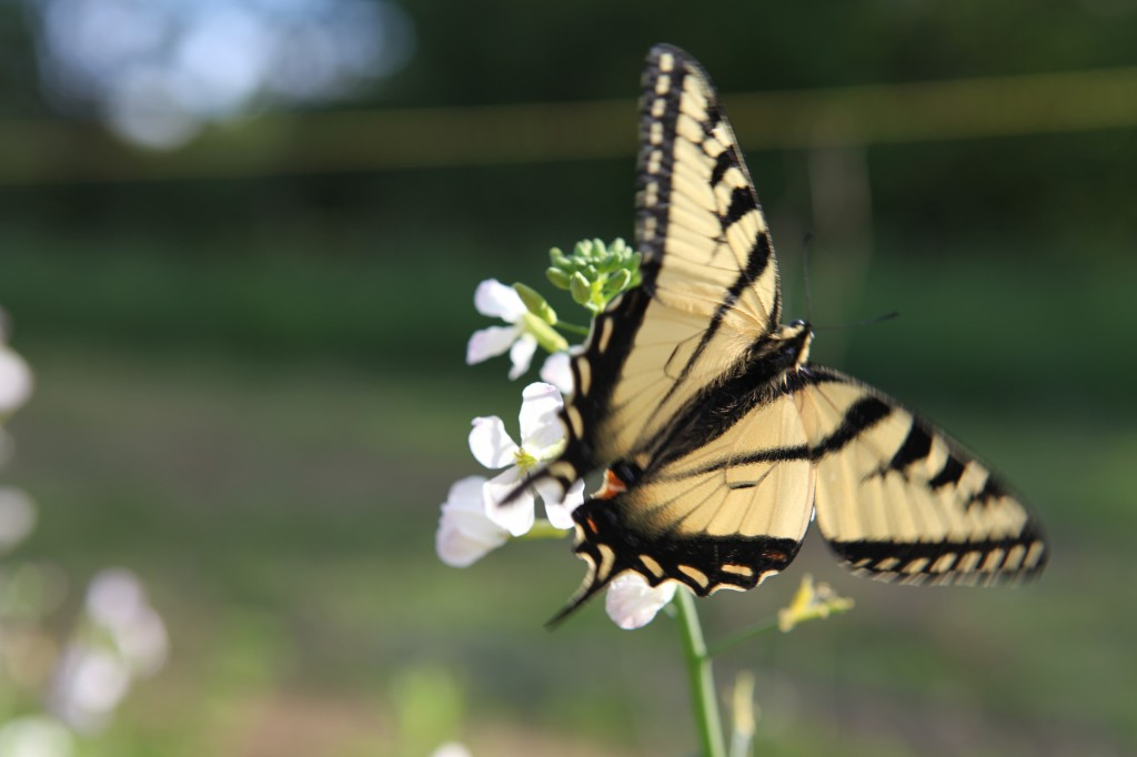 Swooning swallowtails on radish flowers!  Photo: Natalie Lounsbury