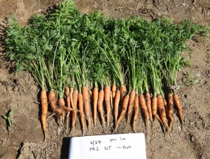 No-till baby carrots after forage radish in a sandy soil in Maine.