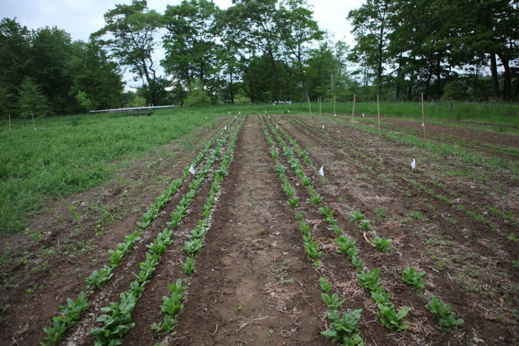 Tilled spinach (left) and no-till spinac