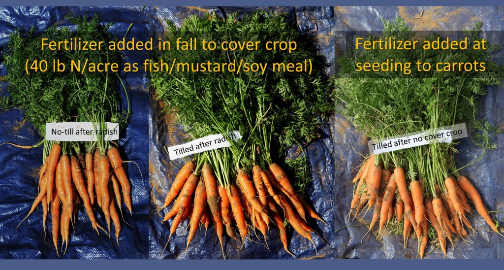 """No-till carrots (left) seeded into forage radish """"residue"""", were fewer than carrots seeded into tilled seedbeds (middle and right), but they had a higher percentage of marketable roots. Fertilizer was in the form of mustardseed, soybean, and fish meal."""