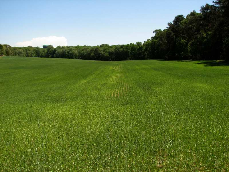 Sulfur deficient wheat in sandy soil on Maryland Coastal Plain. Photo credit: Ray  Weil.