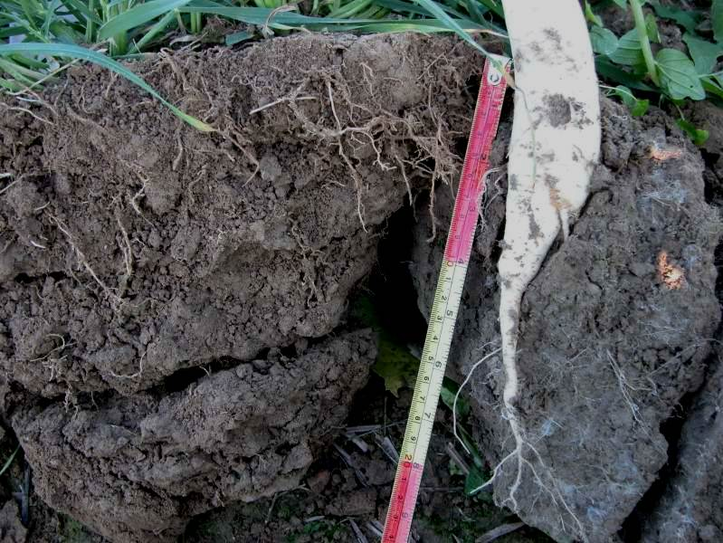 Monocot roots like rye (left) do not have as much power to break through compacted soils as dicots like radish (right). Radish is particularly capable of penetrating compacted soil layers. As a result, radish creates vertical fractures in the soil, increasing water infiltration and disrupting the plow pan. Photos: Ray Weil