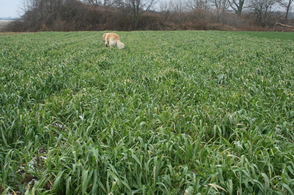 The garlic planting gets canine approval. With almost two more months of growth, the cover crop has completely recovered from the disturbance of garlic planting. Photo: Ken Laing, Orchard Hill Farm.