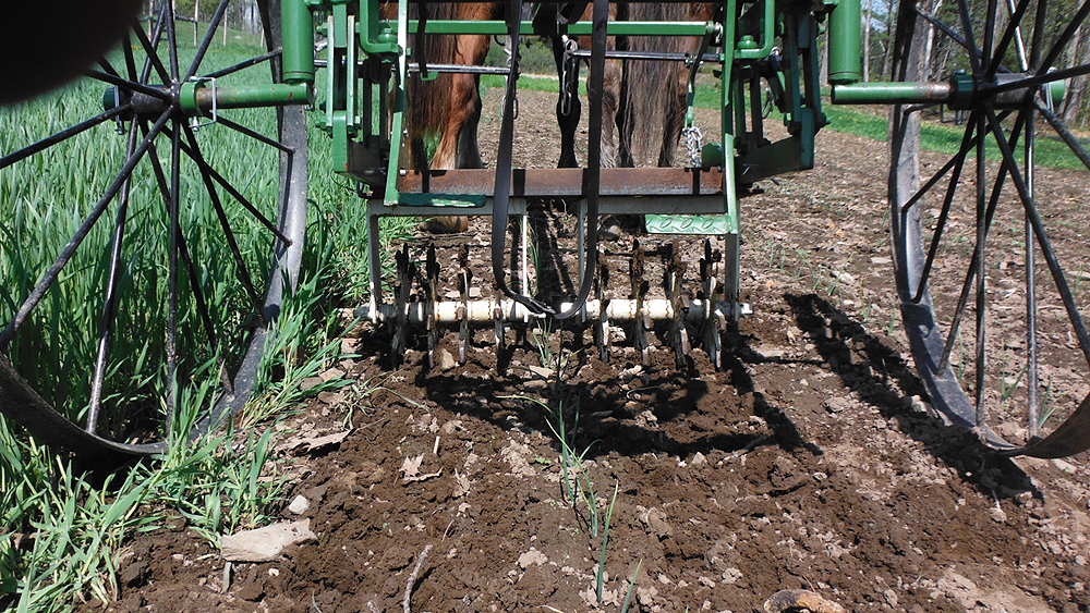 The first cultivation was in early May with a customized salvaged Lilliston cultivators. Photo: Joel Miller