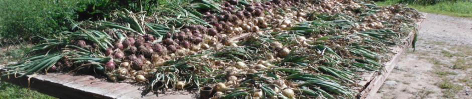 Red and yellow storage onions grown after being transplanted into forage radish root holes. Photo: Joel Miller