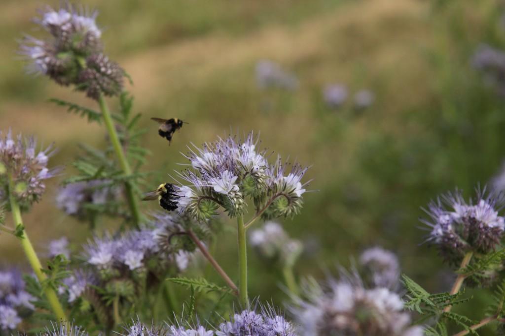phacelia bees