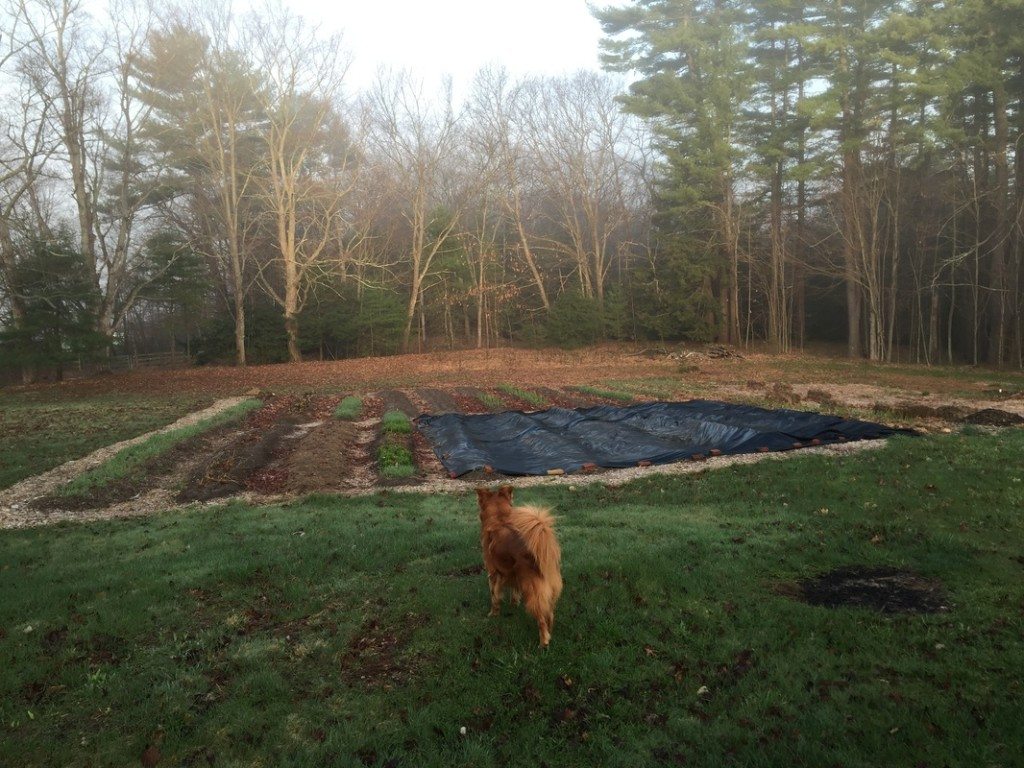 River the dog inspects the tarp at Fat Peach Farm in NH. Photo: Jennifer Wilhelm