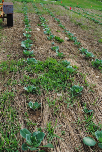 Differences between tarp treatments were apparent three weeks after transplanting: foreground is the clear tarp, middle is the black tarp, and background is no tarp.